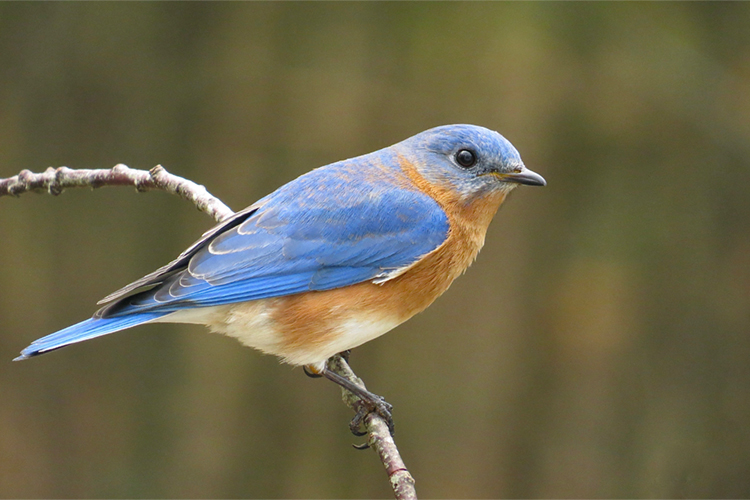 Eastern Bluebird male perched on twig © Joel Eckerson