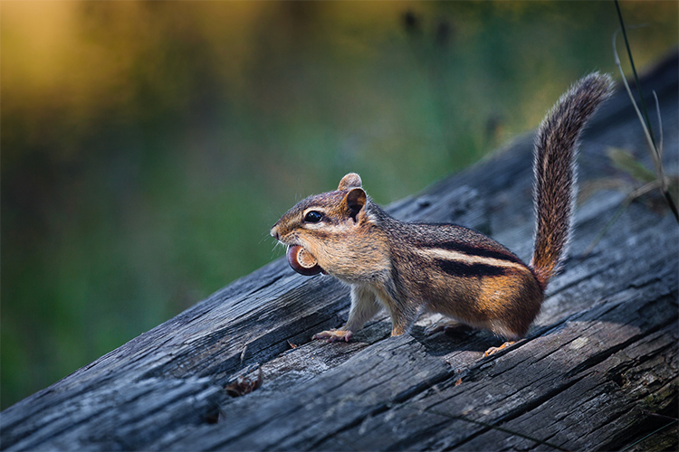 Eastern Chipmunk with acorn © Justin Miel